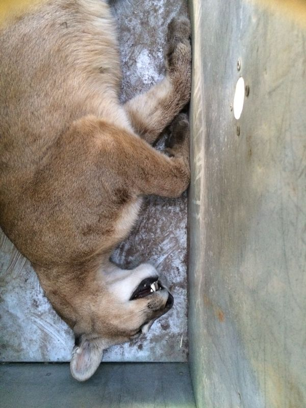This Cougar Just Broke Into A House. What Happens Next Is Devastating.