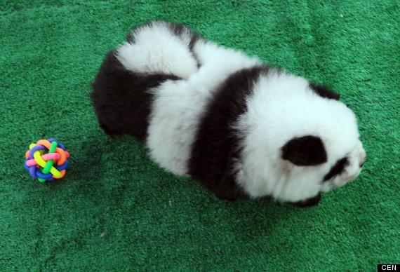 panda dog breed - photo #18