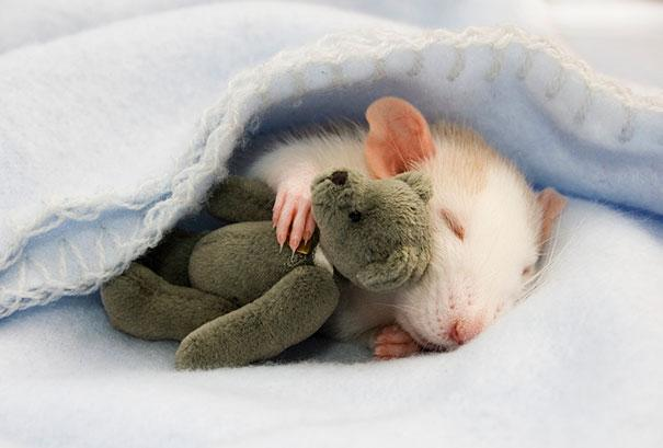Photographer Captures Images Of Adorable Rats