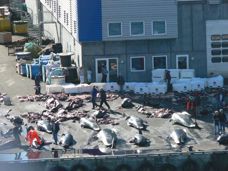 the reasons why the makah indians hunt for whales Makah whale hunt date: 3262012 :) the makah are killing gray whales the neah bay treaty states the makah, along with all americans have the right to hunt gray w hales but, if all other americans have the right to hunting the whales might be re-listed on the endangered species list.