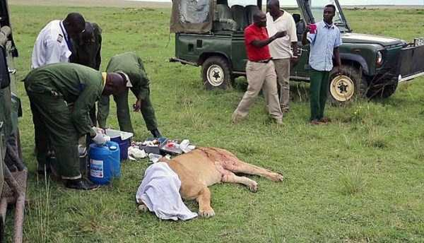 This Lion Was Attacked And Left To Die. I Still Can't Believe What Happened After That.